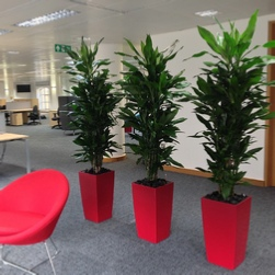 office-plants-dracaena-red-cubico